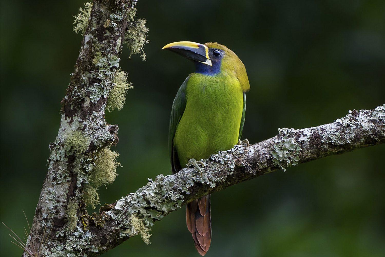 Gray-lined Hawk Darien Chiriqui Birding Panama