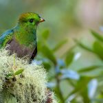Resplendent Quetzal, young male