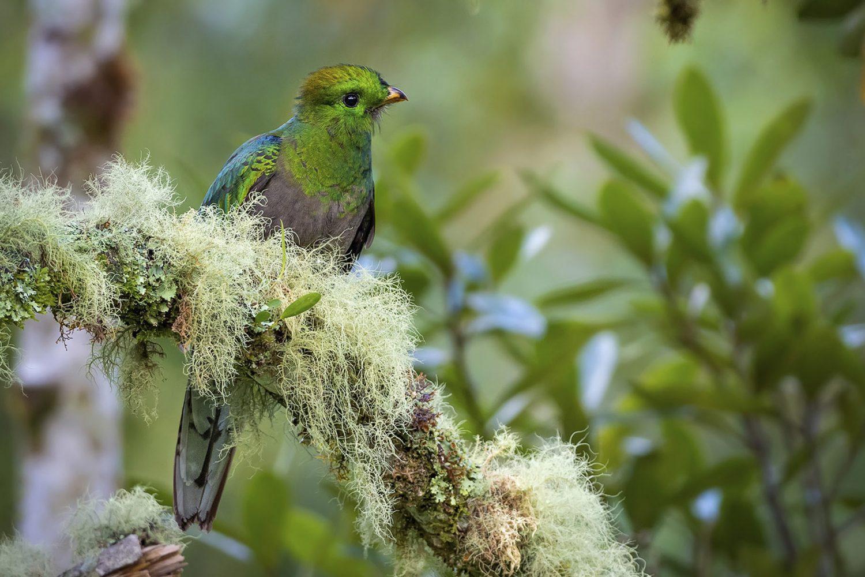 Resplendent Quetzal young Chiriqui Birding Panama