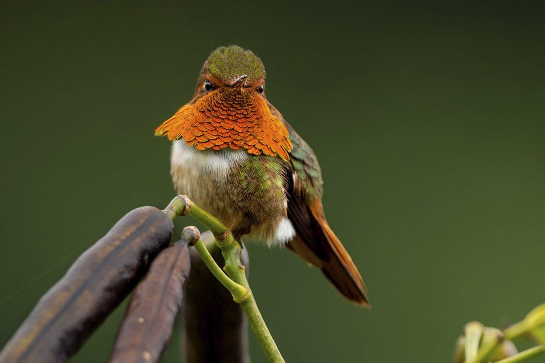 Scintillant hummingbird Chiriqui Panama