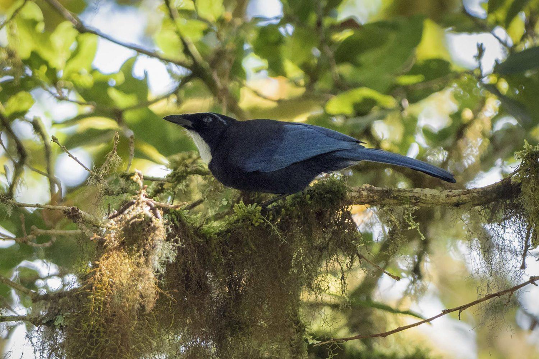 Silvery-throated Jay Chiriqui Birding Panama