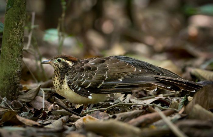Pheasant Cuckoo Panama