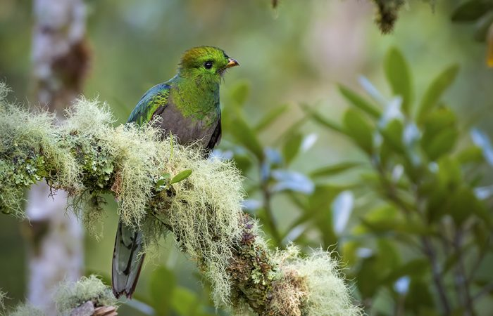 Resplendent Quetzal, young male