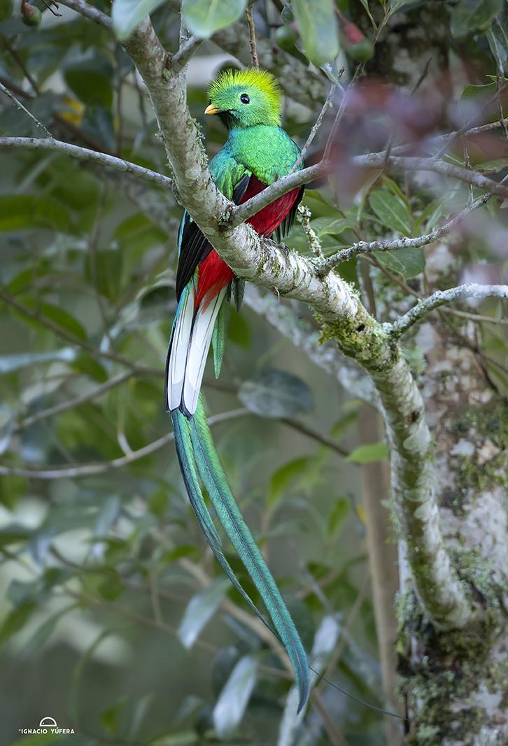 Resplendent-Quetzal-
