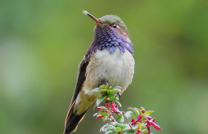 Volcano-Hummingbird