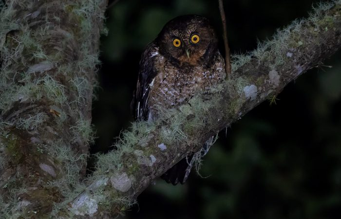 bare-shanked-screech-owl panama