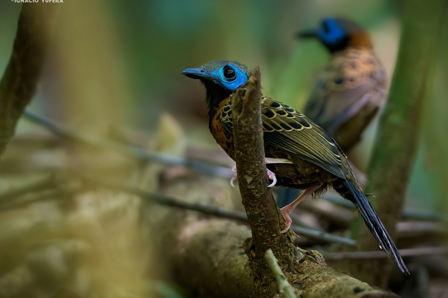 Ocellated Antbird Pair